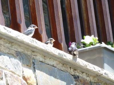 Practicando los primeros vuelos fuera del nido
